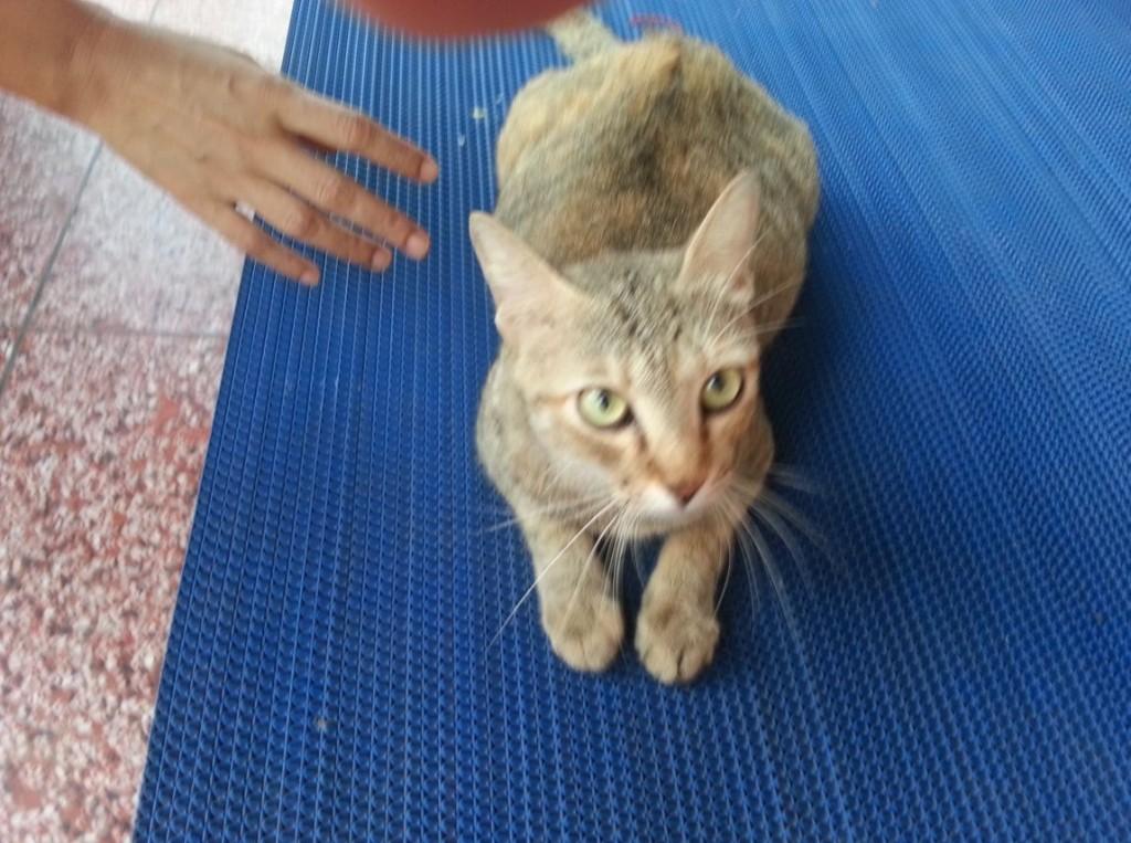 ミャンマー猫